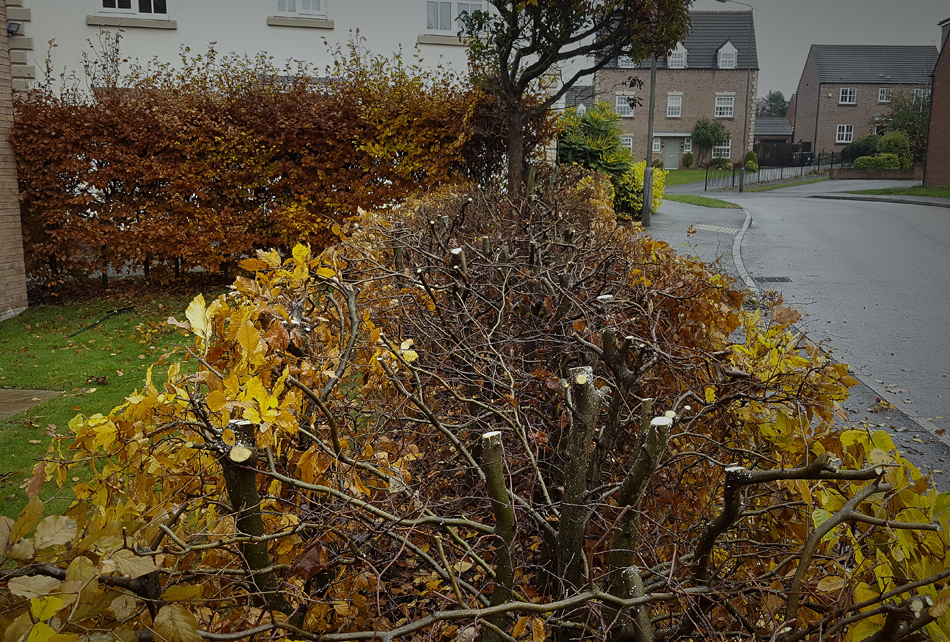 Beech Hedge Reduction 06
