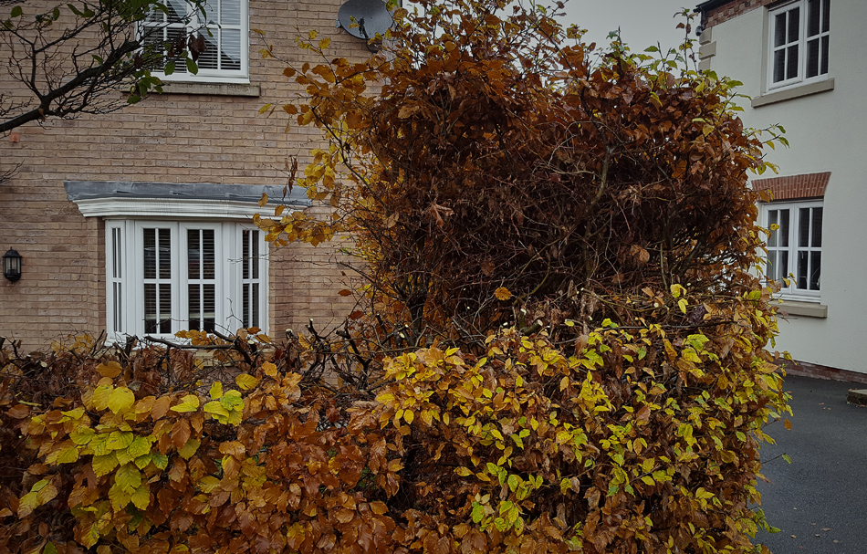Beech Hedge Reduction 01