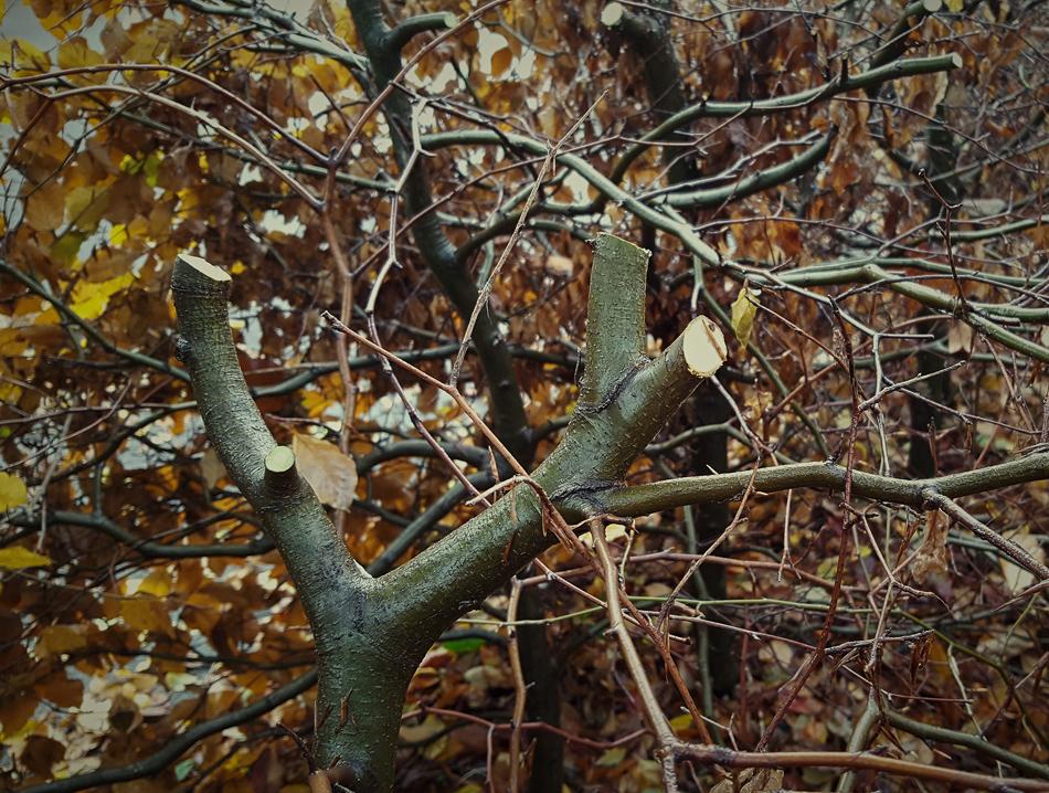 Beech Hedge Reduction 02