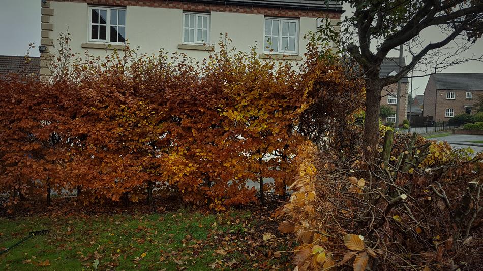 Beech Hedge Reduction 03