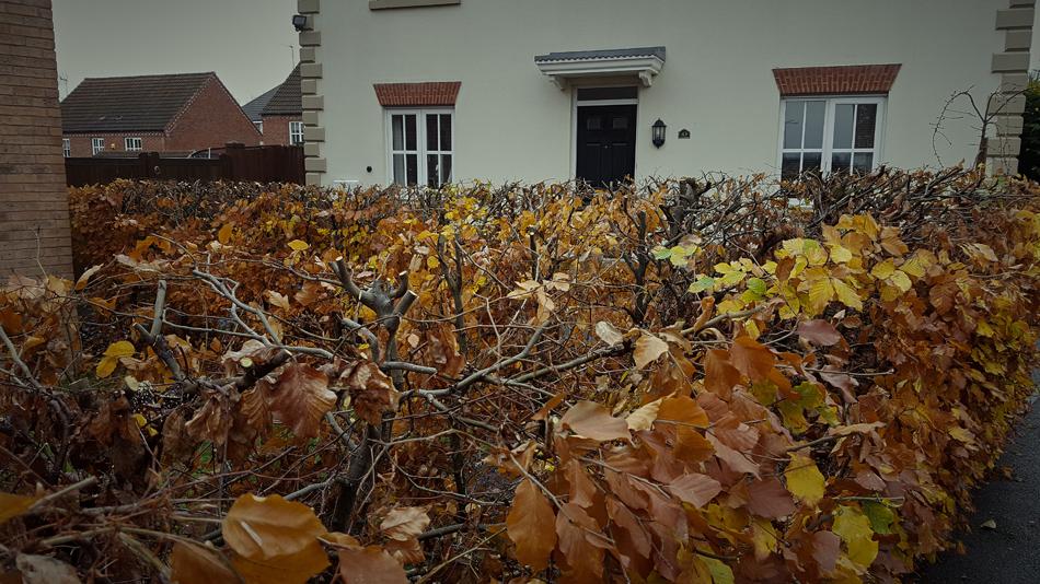 Beech Hedge Reduction 05