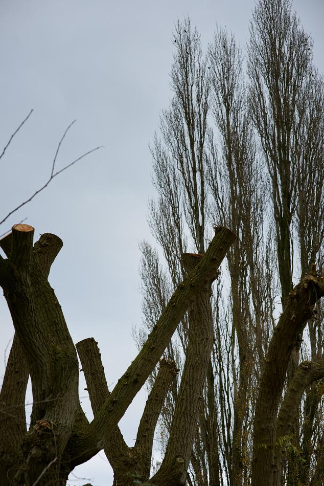 weeping willow pollard 001