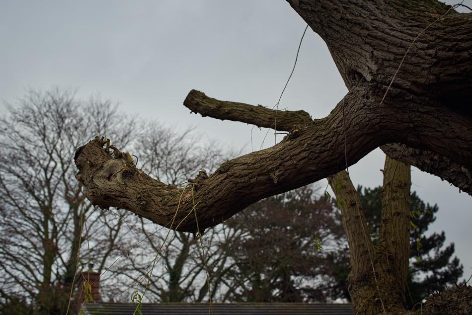 weeping willow pollard 005