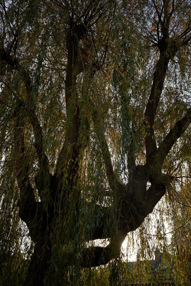 weeping willow pollard 01
