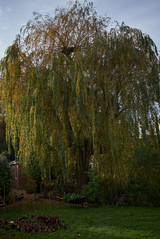 weeping willow pollard 02