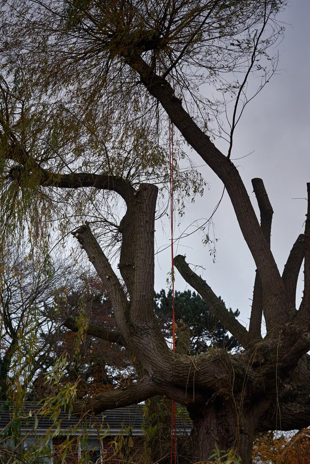 weeping willow pollard 06