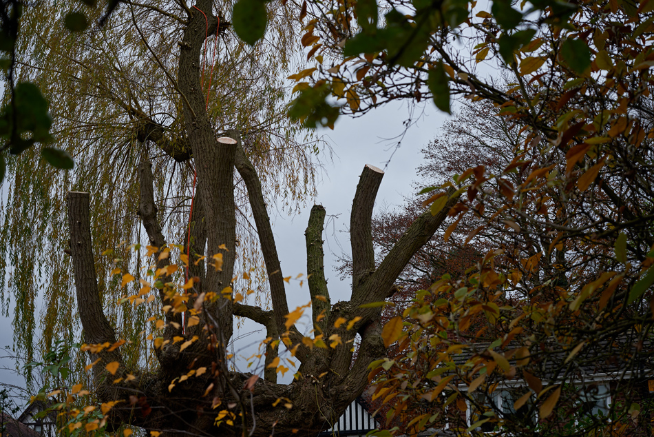 weeping willow pollard 05