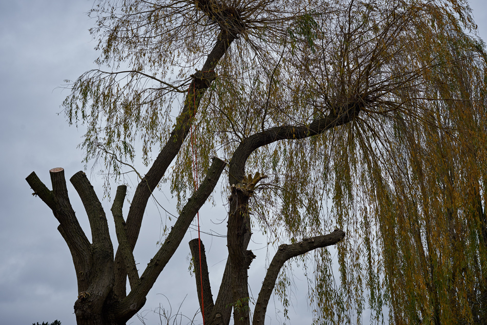 weeping willow pollard 04