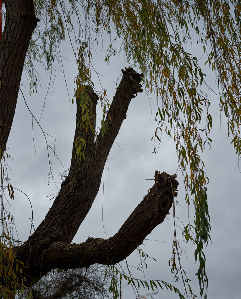 weeping willow pollard 03