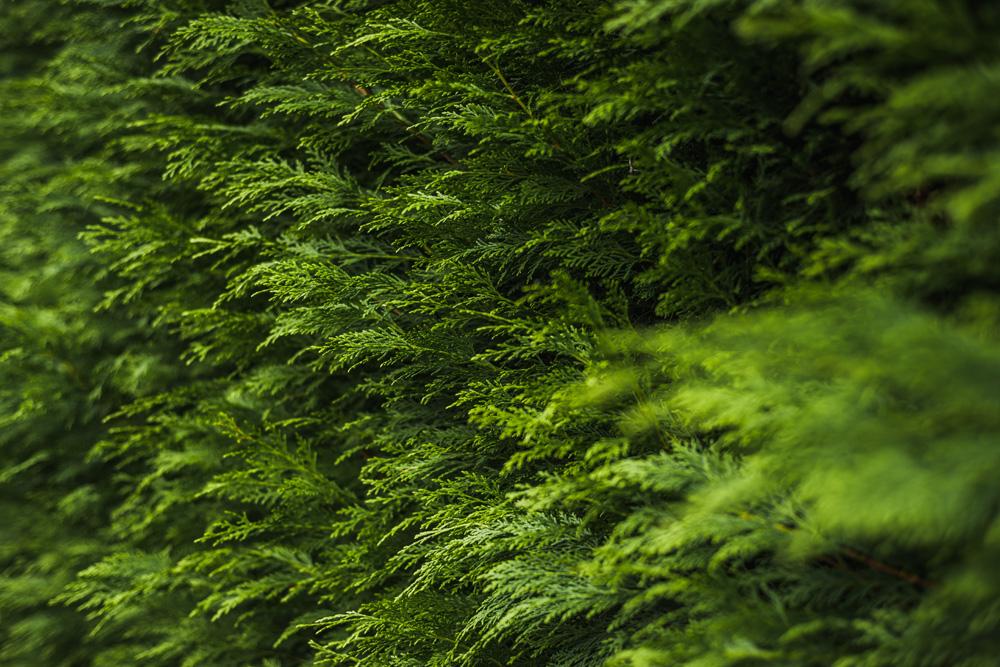 Large Conifer Trim Barrow on Trent Derby © Gardenscape, Derby 05