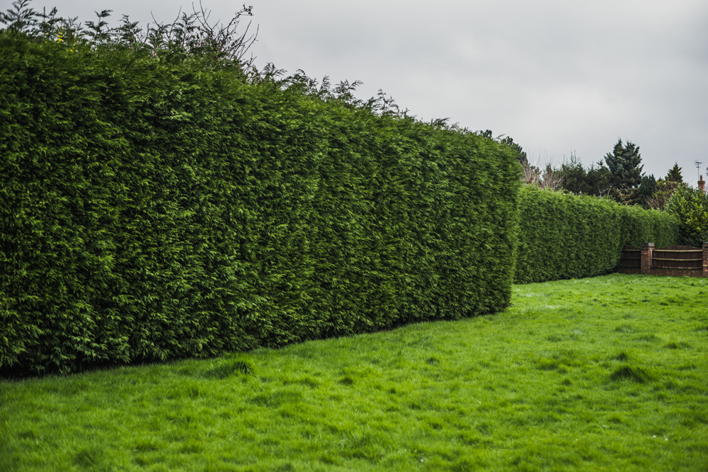 Large Conifer Trim Barrow on Trent Derby © Gardenscape, Derby 02