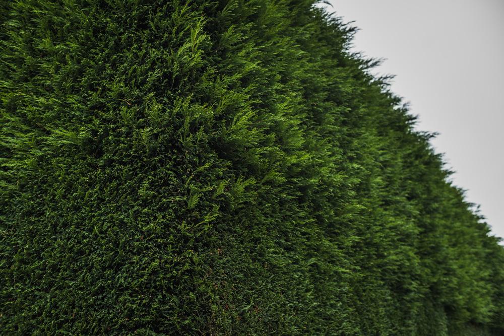 Large Conifer Trim Barrow on Trent Derby © Gardenscape, Derby 14