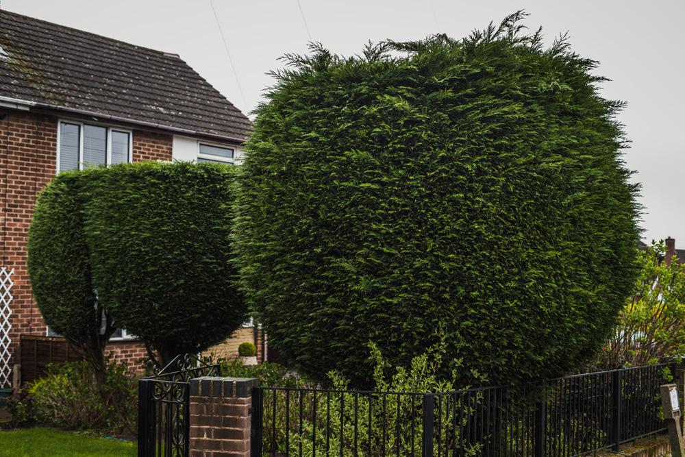 Borrowash Lane Leylandii Shaping © Gardenscape 001