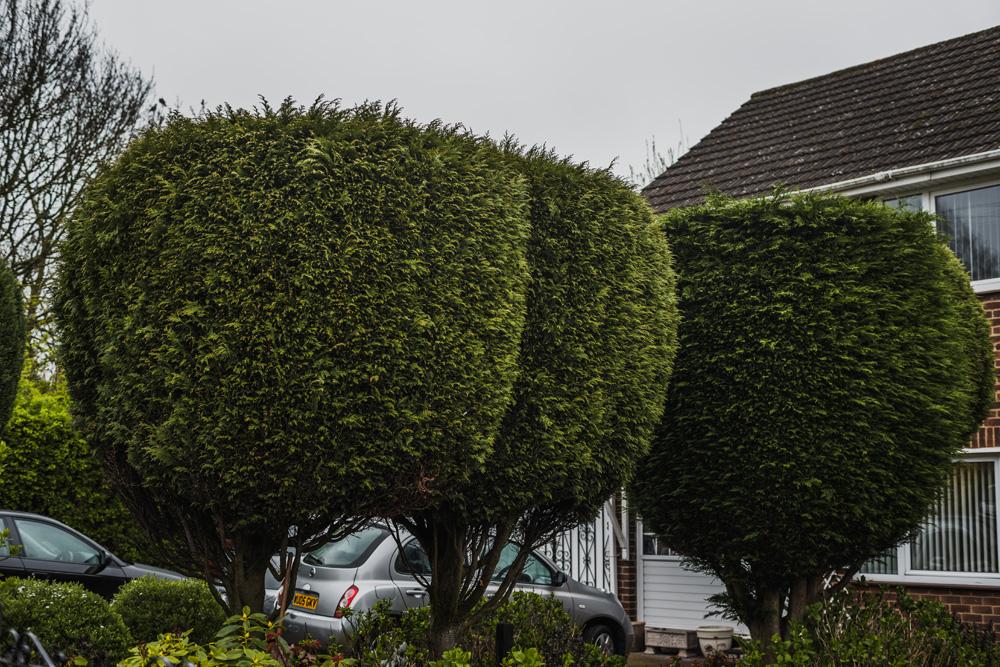 Borrowash Lane Leylandii Shaping © Gardenscape 002