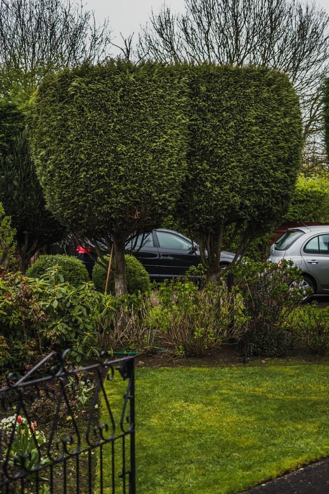 Borrowash Lane Leylandii Shaping © Gardenscape 003
