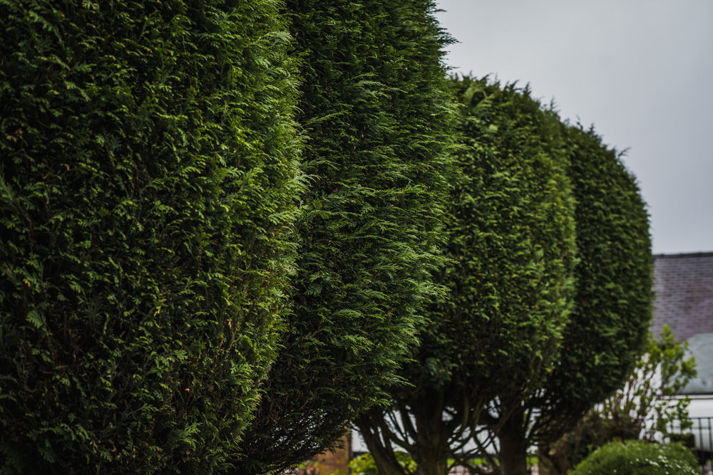 Borrowash Lane Leylandii Shaping © Gardenscape 004