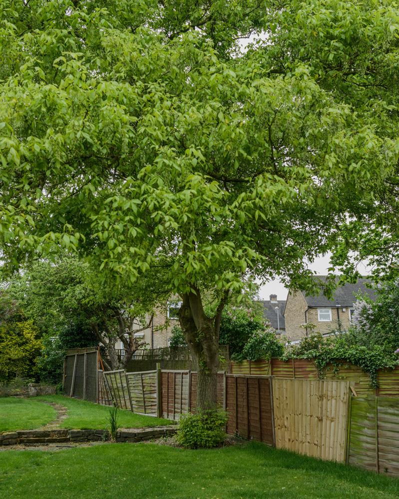 Ashleaf Maple Removal © Gardenscape 01