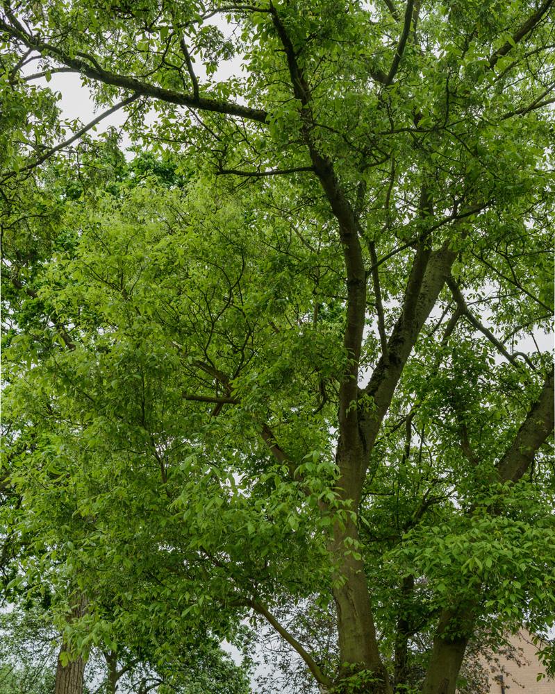 Ashleaf Maple Removal © Gardenscape 03