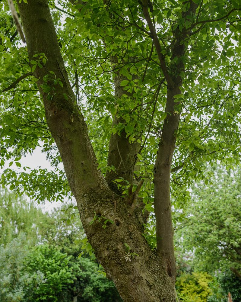 Ashleaf Maple Removal © Gardenscape 04