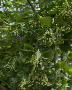 Lime Tree Removal Littleover © Gardenscape 04