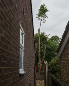 Lime Tree Removal Littleover © Gardenscape 05