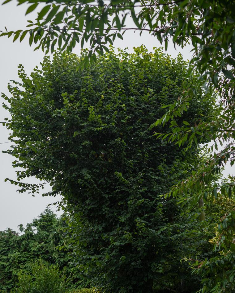 30ft Lime Tree Removal, Mickleover 02