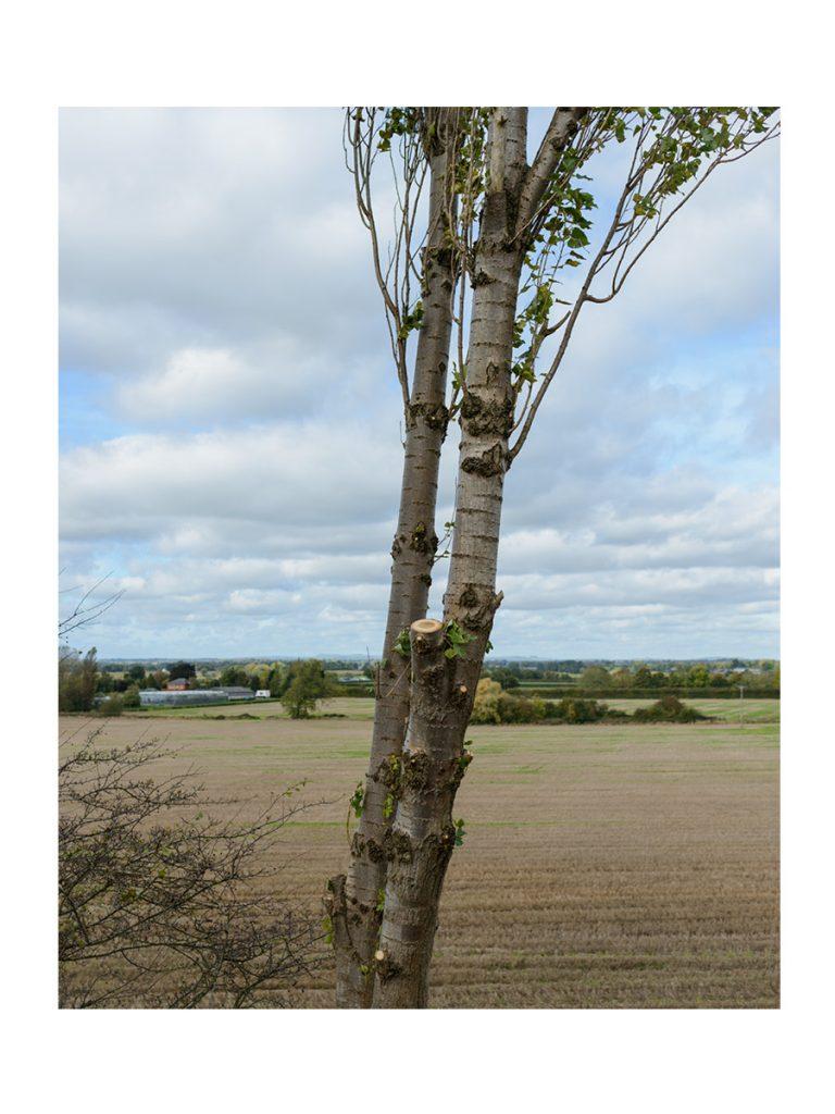 Lombardy Poplar Crown Lift © Gardenscape 04
