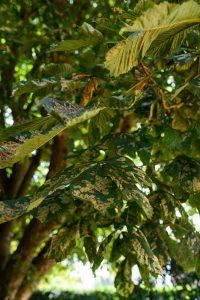 Horse Chestnut Pollard, Littleover © Gardenscape, Derby 01