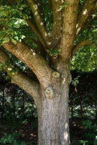 Horse Chestnut Pollard, Littleover © Gardenscape, Derby 04