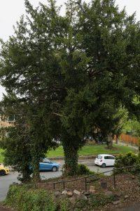 yew tree chellaston © Gardenscape, Derby_001