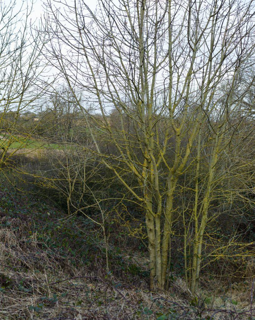 Clearing self seeded trees, Findern, Derby